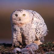 Snowy Owl, (Nyctea scandiaca) Adult near nest with chicks. Barrow, Alaska.