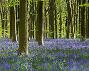 The sea of blue and purple from these glorious English bluebells in some of the beech woods of Wiltshire, England.