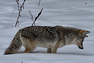 A coyote listens to sounds from beneath the snow.