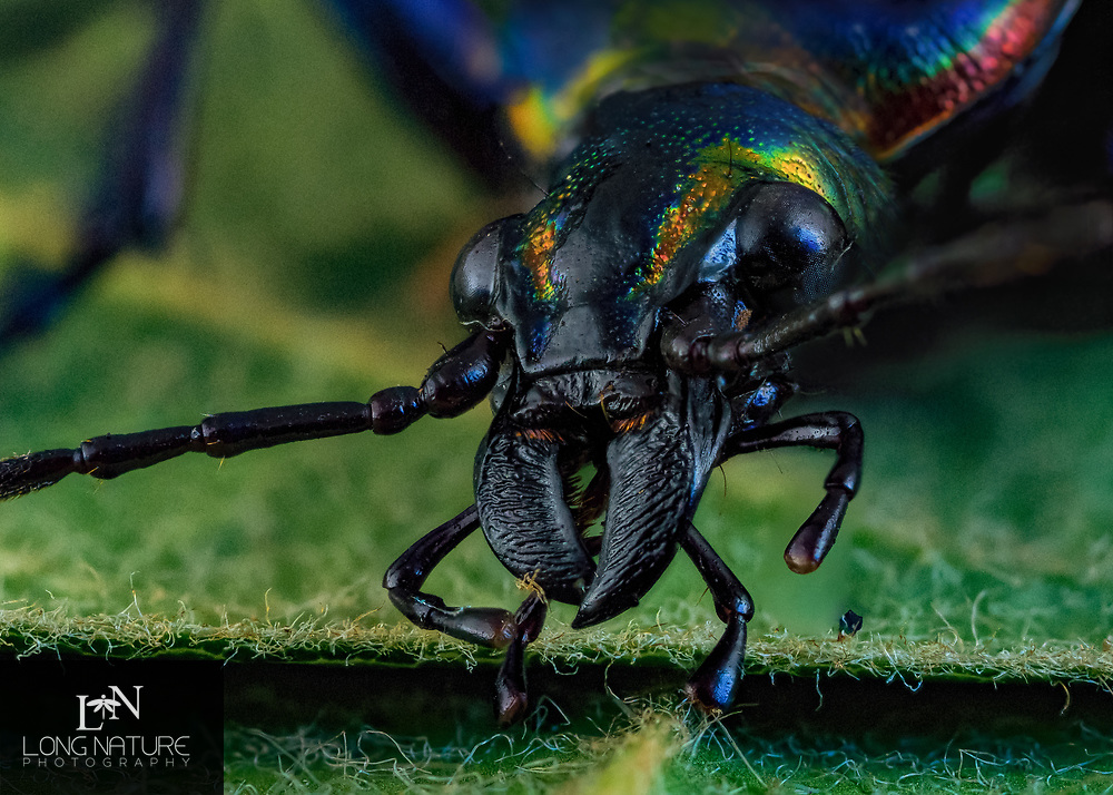 Calosoma scrutator - Fiery Searcher portrait.  Photofraphed in Lady Lake, FL USA