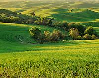 Wheatfields in evening light, The Palouse Washington