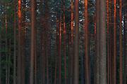 Sunset colour plays over scots pines (Pinus sylvestris) in lichen rich forests on inland dunes, near Strenči, Vidzeme, Latvia Ⓒ Davis Ulands   davisulands.com
