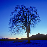 Silhouette of an old Elm Tree in Winter. Newry, Maine