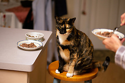 Zelda the cat perches on the stool next to her food, Monday, March 22, 2021, in Oakland, Calif. (Photo by D. Ross Cameron)