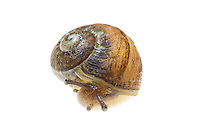 Copse snail, Arianta arbustorum, photographed in Meet Your Neighbours field studion, Wirral - June