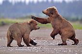 Tours: Coastal Brown Bears of Alaska