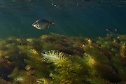 Lobetoothed Piranha (Pygopristis denticulata) in Aquatic Vegetation<br /> Permanant Freshwater Pond<br /> Savannah<br /> Rupununi<br /> GUYANA<br /> South America<br /> RANGE: Orinoco River Basin, Guianas & Lower Amazon River.