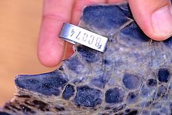 Tag On Flipper Of Black Sea Turtle