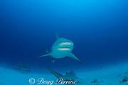 bull sharks, Carcharhinus leucas, females in seasonal breeding aggregation with remora or sharksucker, Echeneis naucrates, Playa del Carmen, Cancun, Quintana Roo, Yucatan Peninsula, Mexico ( Caribbean Sea )