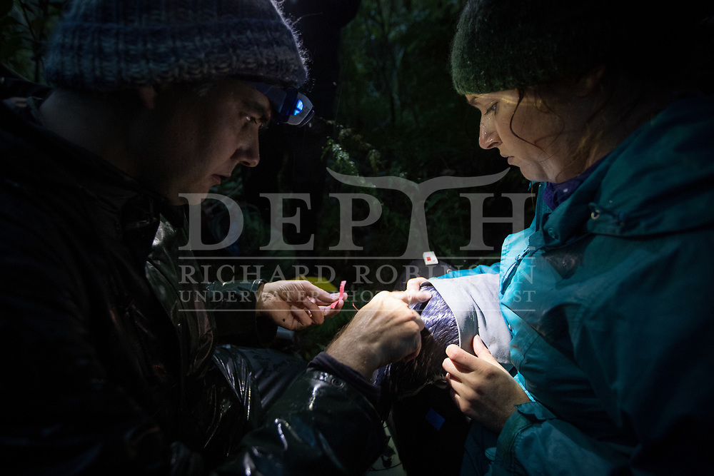 Thomas Mattern and Robin Long from the Tawaki Project attaches a data logger to a Fiordland crested penguin (Eudyptes pachyrhynchus) at the Harrison Cove colony, Milford Sound, New Zealand.<br /> 05 October 2016.<br /> Photograph Richard Robinson © 2016