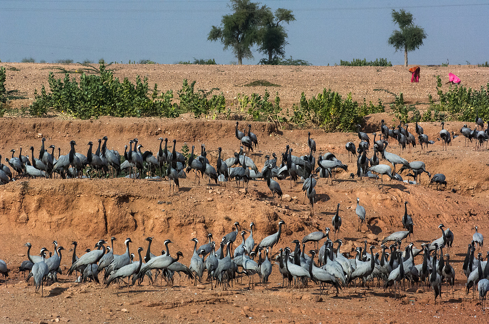 Demoiselle cranes (Grus virgo) standing at 76cm a smallish gray crane with black head and conspicuous white ear tufts behind eye. <br /> Wintering in the desert of Rajasthan between Bikaner and Jaisalmer. INDIA<br /> While in India during the winter they feed on crops such as large gram and wheat but also feed on shoots, insects and small reptiles. Flocks rest on sandbanks of rivers or margins of jheels during midday heat.<br /> These birds spend their summers breeding in Mongolia, S Europe, N Africa and N & C Asia  and migrate south for the winters to Pakistan, Assam, Bangladesh and Andhra Pradesh in India.