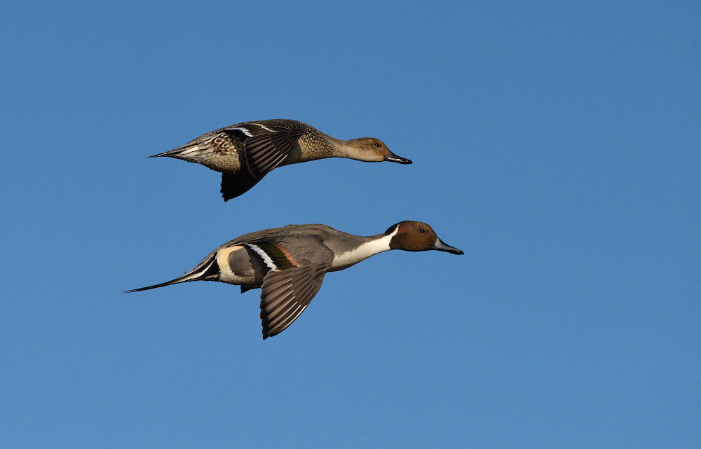 Pintail - Anas acuta - male and female