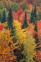 Spruce trees provide a contrast to the riot of autumn color on a hillside outside Belvidere, Vermont