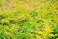 Vine Maple (Acer circinatum) in autumn, Mount Rainier National Park, WA, USA