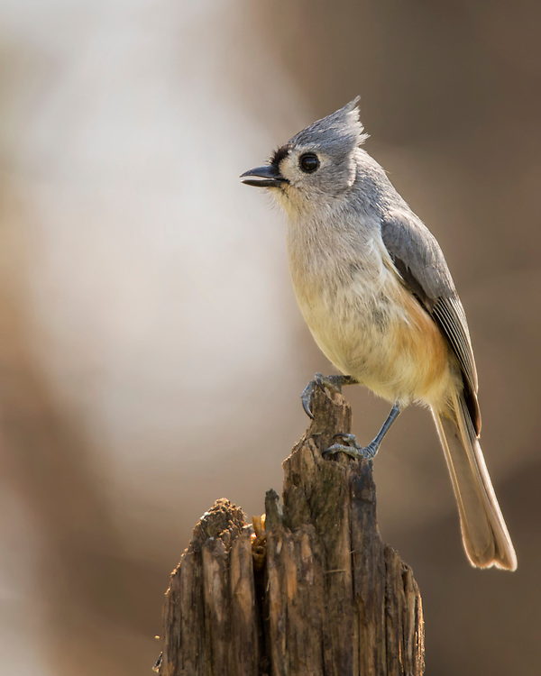 A Titmouse Perched On An Old Stump