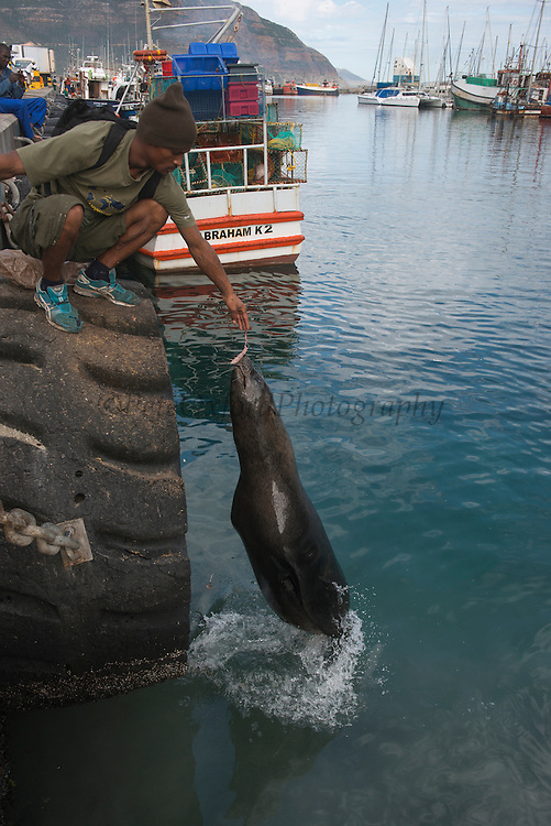Cape fur seal (Arctocephalus pusillus) & fisherman<br /> Hout Bay harbor<br /> Western Cape<br /> SOUTH AFRICA<br /> RANGE: Southern and southwestern coast of Africa from Cape Cross in Namibia to Cape of Good Hope to Black Rocks near Port Elizabeth.