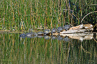 Common Cooter Turtles Basking in the Florida Sun at Wakulla Springs State Park, Florida, USA.