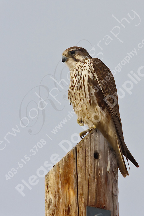 A prairie falcon observes its territory from a high perch.  East of Calgary near Langdon, Alberta, Canada