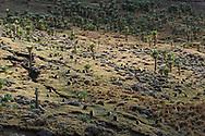 Eine Dschelada-Gruppe (Theropithecus gelada) bei der Futtersuche zwischen Riesen-Lobelien (Lobelia rhynchopetalum), Simien Nationalpark, Debark, Region Amhara, Äthiopien<br /> <br /> A Gelada group (Theropithecus gelada) foraging among giant lobelia (Lobelia rhynchopetalum), Simien National Park, Debark, Amhara Region, Ethiopia