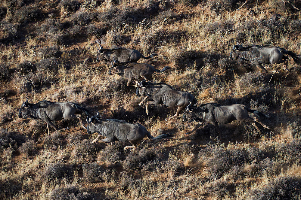 Blue Wildebeest (Connochaetes taurinus)<br /> Private game ranch<br /> Great Karoo<br /> SOUTH AFRICA