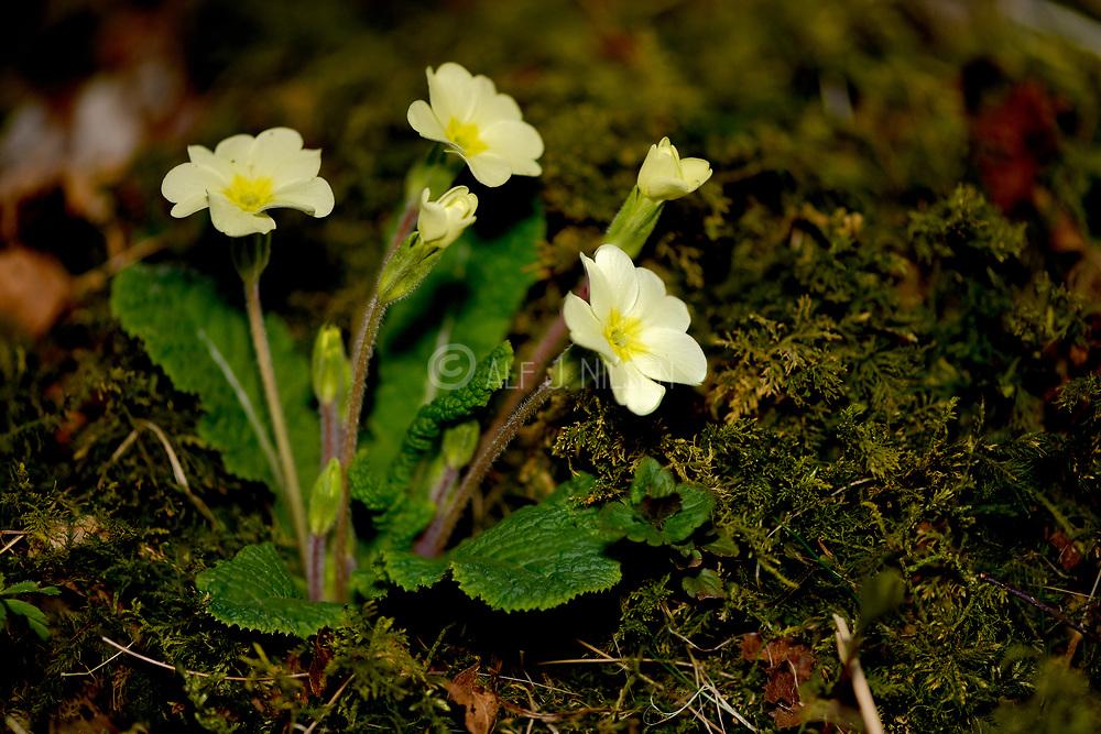 Common primrose (Primula vulgaris) from Hidra, Agder, south-western Norway in April.