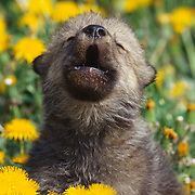 A young gray wolf (Canis lupus) pup in a field of dandelions, howling. Montana, Captive Animal