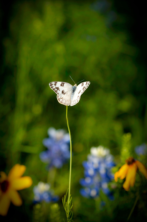 Southern cabbage butterfly, Willow City, Texas
