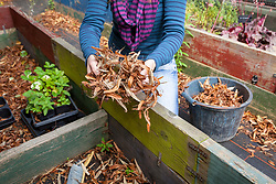 Tidying a coldframe before winter - removing leaves.
