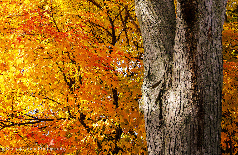 """""""Under the Old Maple Tree"""" 2<br /> <br /> Beautiful fall foliage at peak color with this gorgeous ancient maple tree!"""