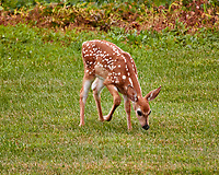 Fawn with spots. Backyard summer nature in New Jersey. Image taken with a Nikon 1 V3 camera and 70-300 mm VR telephoto zoom lens (ISO 800, 300 mm, f/5.6, 1/200 sec).