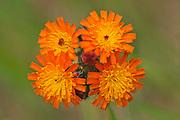 Devil'sPaintbrush or Orange Hawkweed (Hieracium aurantiacum) on Highwind Lake.<br />near Gelley Lake<br />Ontario<br />Canada