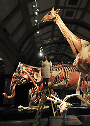 © Licensed to London News Pictures. 03/04/2012. London, UK. Curator Georgina Bishop stands on a ladder underneath the giraffe exhibit. The intricate biology and physiology of animals can be explored after the process of Plastination at a new exhibition. The launch of The Natural History Museum's Animal Inside Out exhibition. The exhibition is the UK premiere from the team behind Gunther von Hagens' Body Worlds shows, with almost 100 specimens on show. Animal Inside Out runs from April 6 April to September 16 at the Natural History Museum, London. Photo credit : Stephen SImpson/LNP
