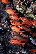 bigscale soldierfish, Myripristis berndti, Cocos Island ( Eastern Pacific Ocean )