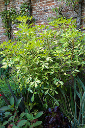 Pseudopanax lessonii 'Gold Splash'  growing in a container at Great Dixter