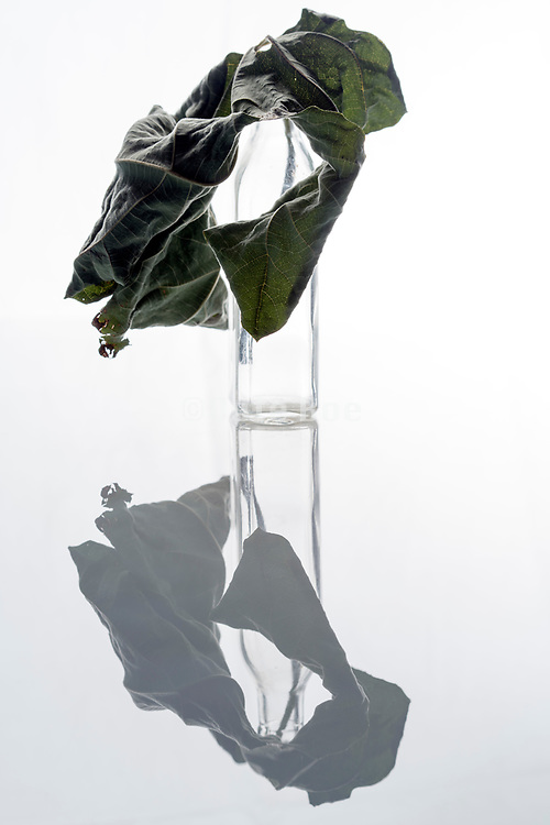 drying and crumpled fig leaf in an old glass bottle still life