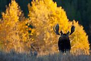 Bull moose in Wyoming during autumn rut