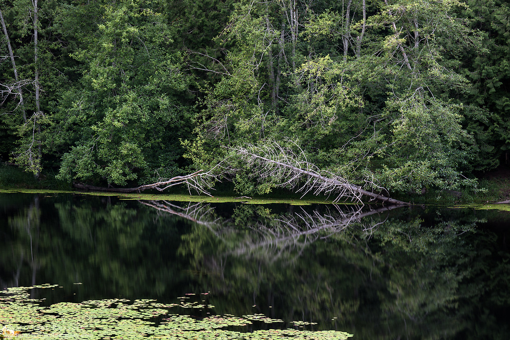 Two snags and various other trees are reflected on the water in the evening at McLean Pond at Campbell Valley Regional Park in Langley, British Columbia, Canada. The pond plant in the foreground is known as Watershield (Brasenia schreberi).