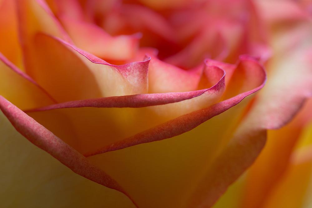 Macro photograph of a rose.