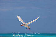 red-tailed tropicbird, or red tailed tropic bird, Phaethon rubricauda rothschildi, courtship flight, Sand Island, Midway, Atoll, Midway Atoll National Wildlife Refuge, Papahanaumokuakea Marine National Monument, Northwest Hawaiian Islands,  ( Central North Pacific Ocean )