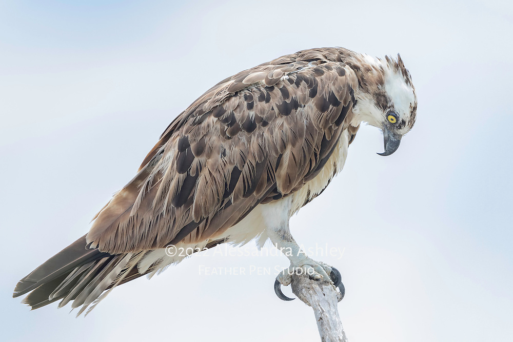 Osprey, Pandion haliaetus, also known as fish hawk, concentrates as it scans the water below for its next meal. Merritt Island NWR, Florida's Atlantic coast.