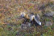 Wildlife, like the Cross fox, abounds along the ALCAN Highway.