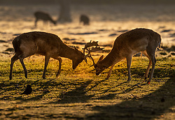 © Licensed to London News Pictures. 07/04/2021. London, UK. Two deer lock antlers in freezing conditions at dawn in Bushy Park, south west London. Below zero temperatures overnight have brought frost to some parts of the south. Photo credit: Peter Macdiarmid/LNP