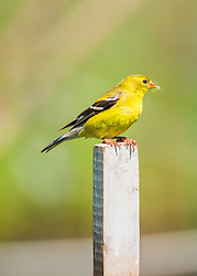 A Goldfinch stops for a break on a post while gathering some nest building materials