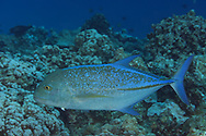 Bluefin Trevally, Caranx melampygus, Cuvier, 1833, Maui, Hawaii