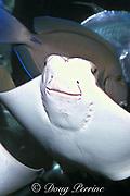 Atlantic cownose ray, <br /> Rhinoptera bonasus (c)<br /> Aquarium of the Americas<br /> New Orleans, Louisiana