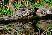 A juvenile American alligator warms in the winter sun on a log at the Bear Island Wildlife Management Area in Green Pond, South Carolina.