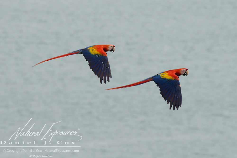Scarlet Macaw, pair in flight over the water of the Osa Peninsula, Costa Rica.