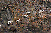 A family of Dall Sheep in the Chugach Mountains as seen from the Seward Highway along Turnagain Arm.