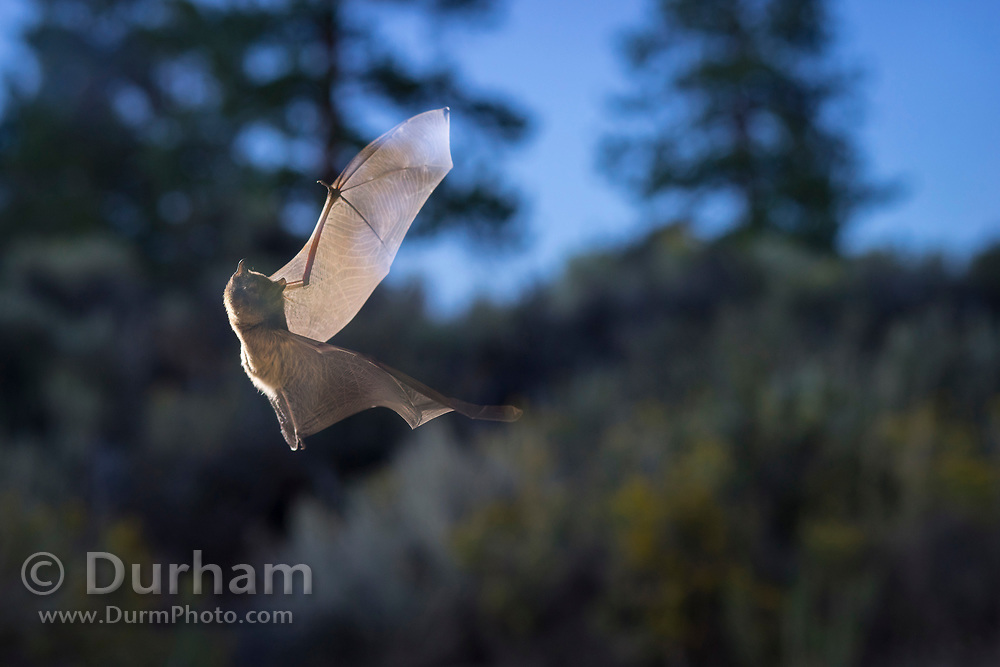 Wild bat (myotis sp.) flying at dusk in Central Oregon. ©MIchael Durham
