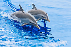 pantropical spotted dolphins, Stenella attenuata, mother and calf, wake-riding, Kona Coast, Big Island, Hawaii, USA, Pacific Ocean